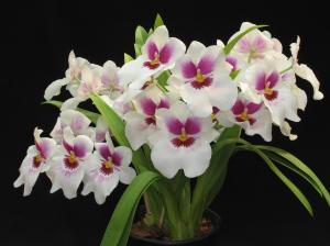 orquidea-3